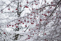 Frozen rowanberry under the snow on branch Stock Images