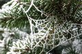 A frozen spider web in a pine tree Royalty Free Stock Photo