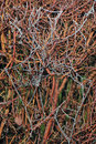 Frozen spiders web image of a on a hedg Royalty Free Stock Photo