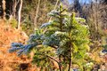 Frozen spruce branch Royalty Free Stock Photo