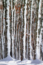 Frozen tree trunks Royalty Free Stock Photo