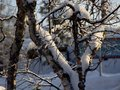 Frozen trees in winter lappland Royalty Free Stock Photo