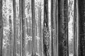 Frozen trunks abstract black and white photo of covered with hoarfrost Royalty Free Stock Image