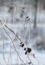 Frozen Twig With Cones