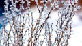 Frozen twig with thorns Royalty Free Stock Photo