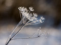 Frozen weed covered in glittering hoar frost Royalty Free Stock Images