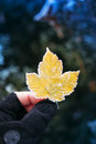 Frozen yellow leaf in adventure man hand wearing gloves Royalty Free Stock Images