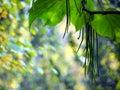 Fructification of catalpa close up cigar tree long fruits Royalty Free Stock Image