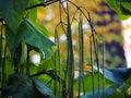 Fructification of catalpa close up cigar tree long fruits Royalty Free Stock Images