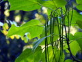 Fructification of catalpa close up cigar tree long fruits Stock Photography