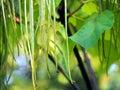Fructification of catalpa close up cigar tree long fruits Royalty Free Stock Photos