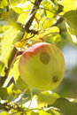 Fruit  apple  tree Royalty Free Stock Photography