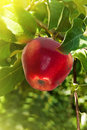 Fruit  apples  red  tree Royalty Free Stock Photo
