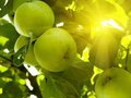 Fruit apples on a tree Royalty Free Stock Photo
