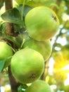 Fruit apples  tree Royalty Free Stock Photo