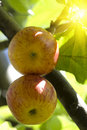 Fruit  apples  tree  sunlight Royalty Free Stock Photo