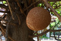 Fruit ball on salavan tree or canon Royalty Free Stock Photography