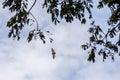 Fruit Bat In Flight During The...