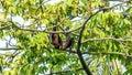 Fruit bat, flying fox flying dog hanging upside on a tree, Maldives. Royalty Free Stock Photo