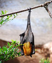 Fruit bat a hanging from a rope while basking in the sun Stock Photo