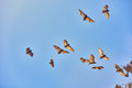 Fruit bats flying palawan philippines group of in Royalty Free Stock Image