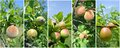 Fruit collage - unripe green nectarines, peaches, apricots, apples and pears on the tree Royalty Free Stock Photo