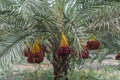 Fruit of the date palm. Royalty Free Stock Photo