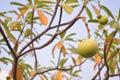 Fruit des scholaris d alstonia Photographie stock libre de droits