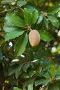Fruit ellipsoid berry of manilkara zapota sapodilla on tree selective focus Stock Photo
