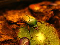 Fruit and flower chafer scarab beetle on a piece of kiwifruit in the dark of night Stock Photos