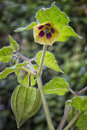 Fruit and flower of Physalis (Physalis peruviana) also called Ca Royalty Free Stock Photo