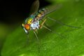A fruit fly from Chiang Mai Royalty Free Stock Images