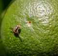 Fruit fly on citrus Royalty Free Stock Photo