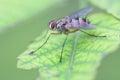 Fruit fly macro Royalty Free Stock Photo