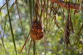 Fruit hanging in tree, Pandanus, Screw pine, Pandanaceae, palm tree, Kakadu National Park australia darwin Stock Photography