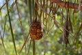 Fruit hanging in tree, Pandanus, Screw pine, Pandanaceae, palm tree, Kakadu National Park australia darwin Royalty Free Stock Photo