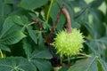 Fruit of the Horse Chestnut tree