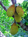 Fruit jackfruit china trees with is a tropical Stock Photo