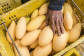 Fruit of Mango cultivars Nam Dok Mai See Thong Royalty Free Stock Photo