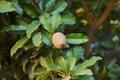 Fruit of manilkara zapota sapodilla tree ellipsoid berry on selective focus on Royalty Free Stock Photos