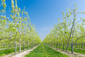 Fruit orchard blossoming with blue sky Stock Image