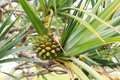 Fruit pine of Common screwpine (Pandanus utilis) tree Royalty Free Stock Photo