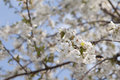 Fruit tree blossoming in spring Stock Photo
