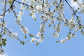 Fruit tree blossoming in spring Stock Photography