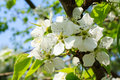 The fruit trees blossom