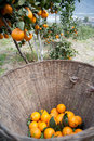 Fruit trees gardens orange tree fruit trees gardens orange tree Stock Photos