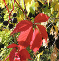 Fruitage and leaves of Parthenocissus quinquefolia Royalty Free Stock Photo