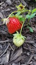 A fruitful harvest fresh homegrown strawberries Royalty Free Stock Image