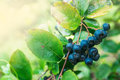Fruitful ripe aronia berry fruit on the branch selective focus Royalty Free Stock Photography