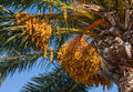 The fruits of canary island date palm in sunny day Stock Photo